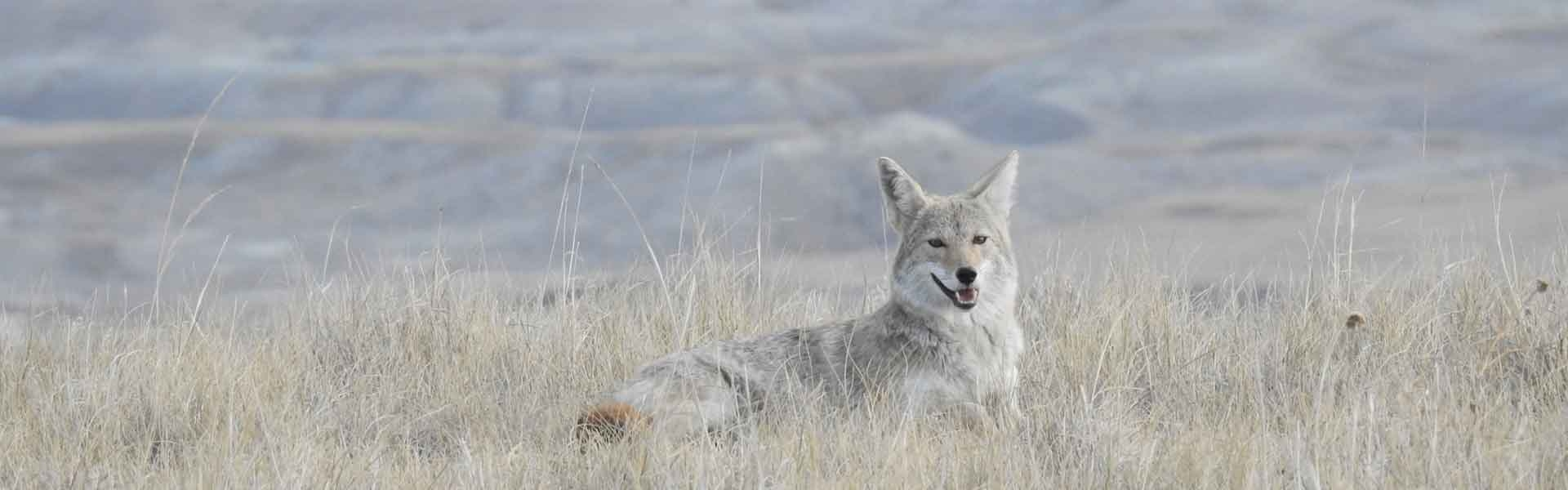 South Dakota Predator Hunting | Coyote Hunts in SD